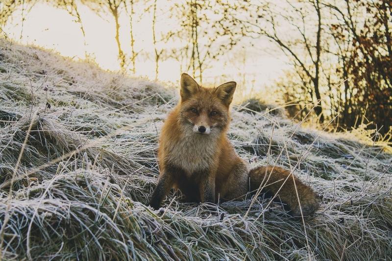 صور تحتوي #حيوان #الحيوانات_البرية #غابة #طبيعة #ثعلب