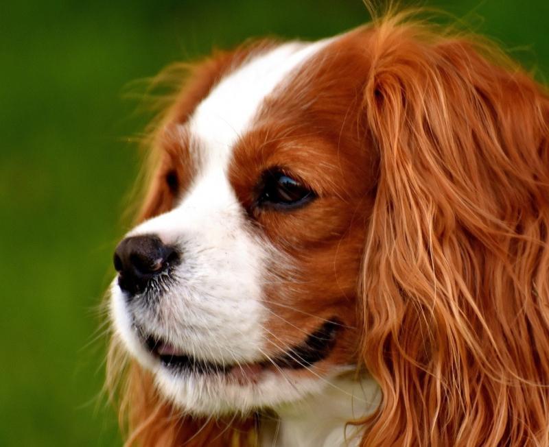 صور تحتوي #حيوان #فارس_الملك_شارل_الذليل #مضحك #الكلب #حيوان_اليف