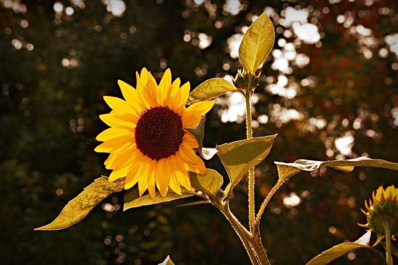صور تحتوي #دوار_الشمس #ورقة_الشجر #البتلة_نبات #زهرة #نبات #هيليانثوث