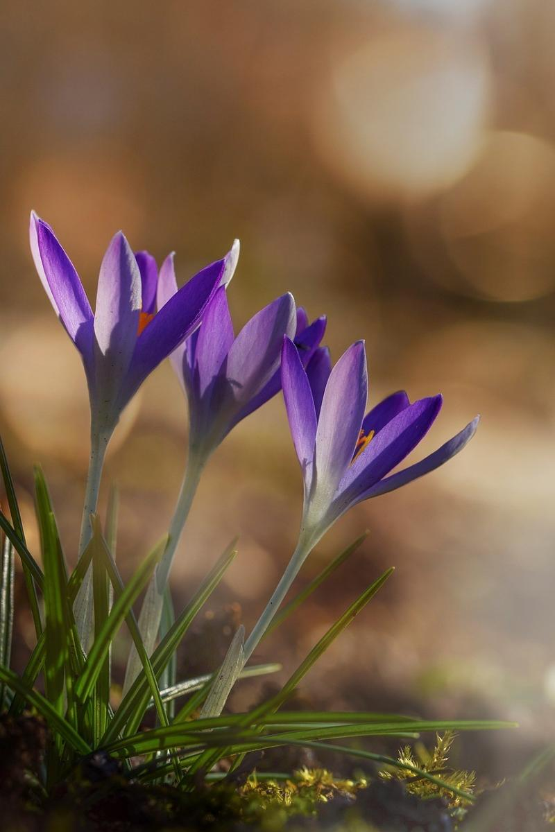 صور لـ #إزهار #زهر #زهرة #أرجواني #زعفران #ربيع