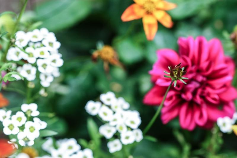 صور تحتوي #زهرة #زهرة_الصيف #الصيف #زهر #حديقة_الزهور