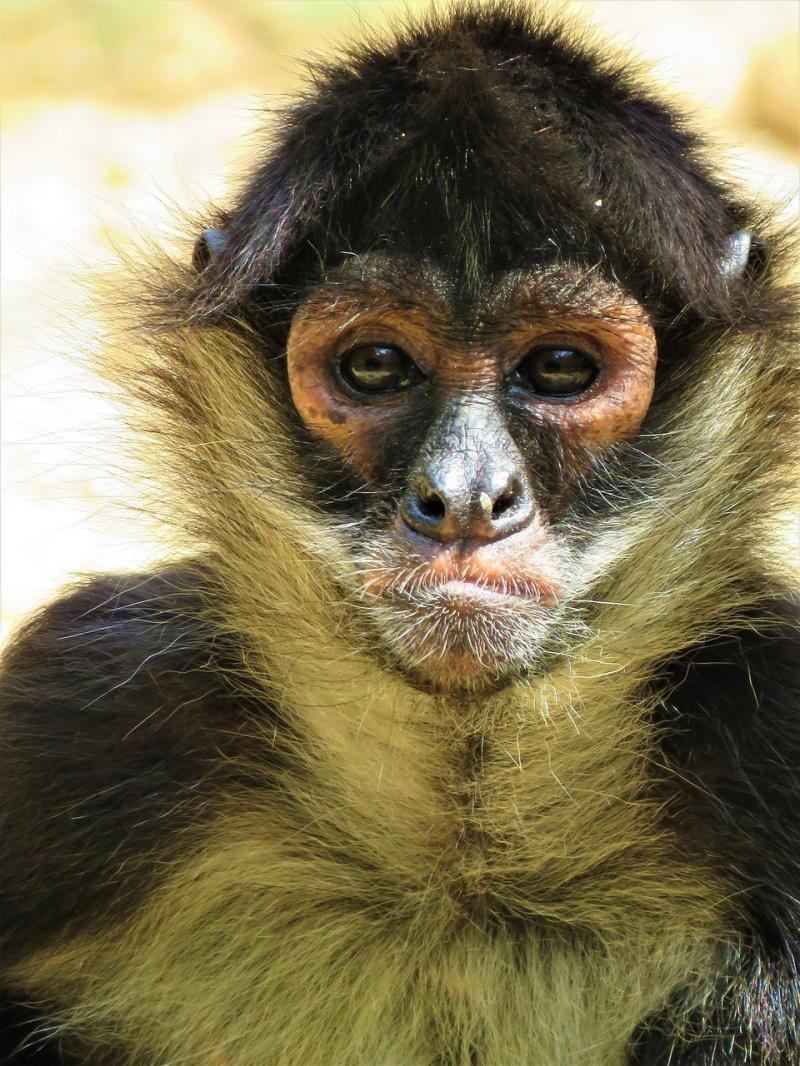 صور تحتوي #الحيوان_الرئيسي #القرد_العنكبوت #قرد #قرد