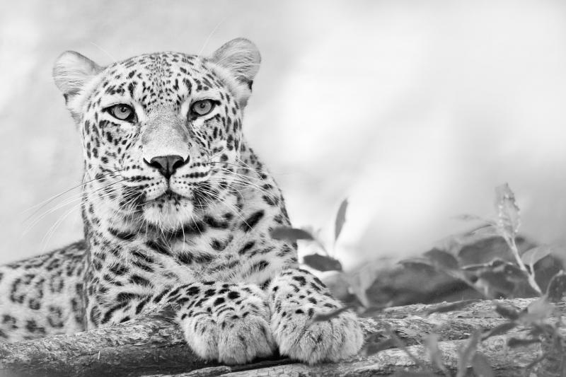 صور تحتوي #فهد #حديقة_حيوان #الحيوانات_البرية #سنور #بري #حيوان