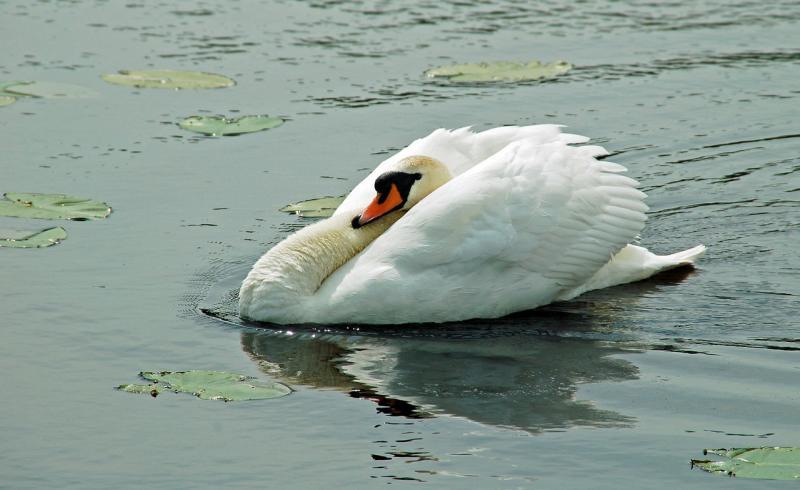 صور تحتوي #الطيور_المائية #بجعة #أبيض #عالم_الحيوان #ماء