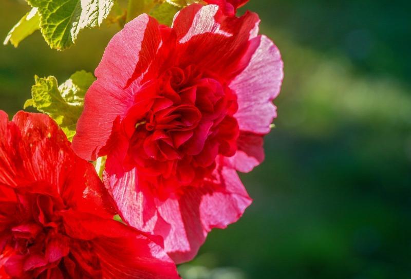 صور تحتوي #أخضر #إزهار #الأسهم_روز #أحمر #زهر #طبيعة #زهري