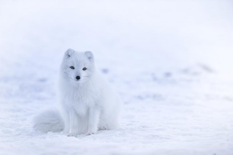 صور تحتوي #ثعلب #الثعلب_في_القطب_الشمالي #الحيوانات_البرية #أبيض #ثلج #حيوان