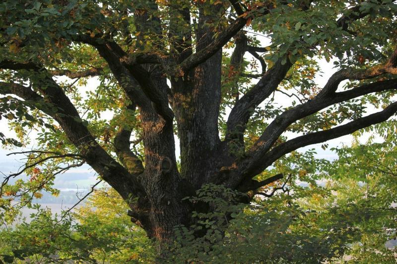 صور تحتوي #شجرة #طبيعة #شجرة_كبيرة #غابة