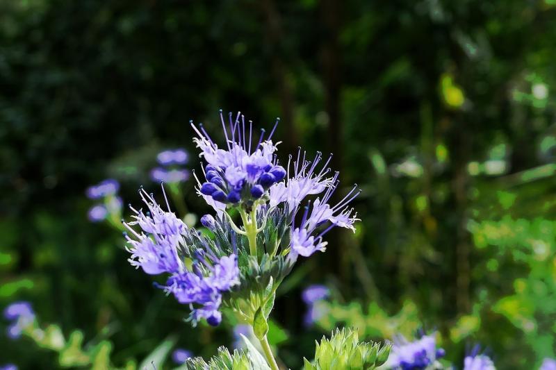 صور تحتوي #أزرق #طبيعة #ضوء #زهر #إزهار #الزهور_الزرقاء