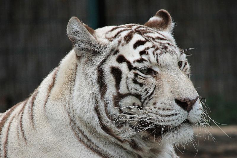 صور تحتوي #قطة_كبيرة #أبيض #نمر #قط #الحيوان_الثديي