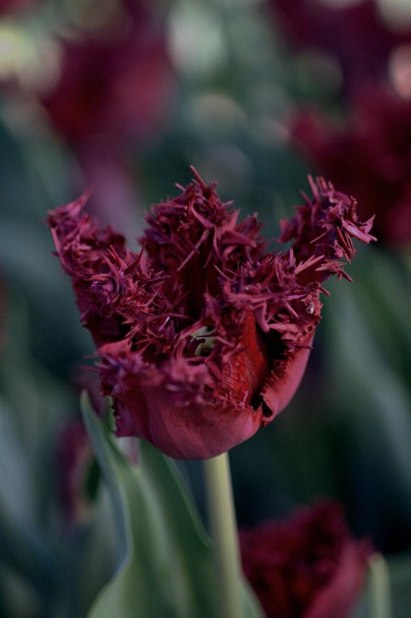 صور تحتوي #الزنبق #اللون_القرمزي #الخزامى #الكارتلات #أسود #ربيع #أحمر