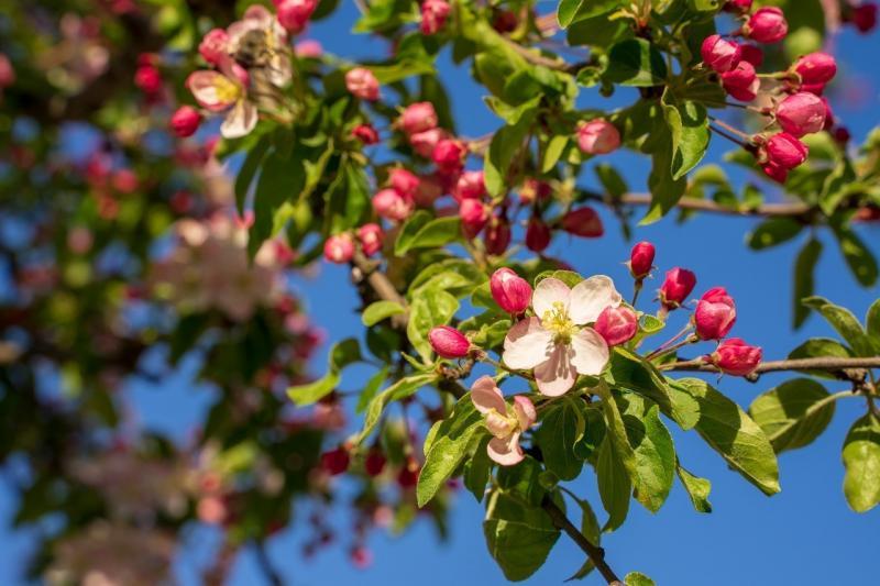 صور تحتوي #إزهار #ربيع #زهر #نحلة #زهرة_الكرز #زهري