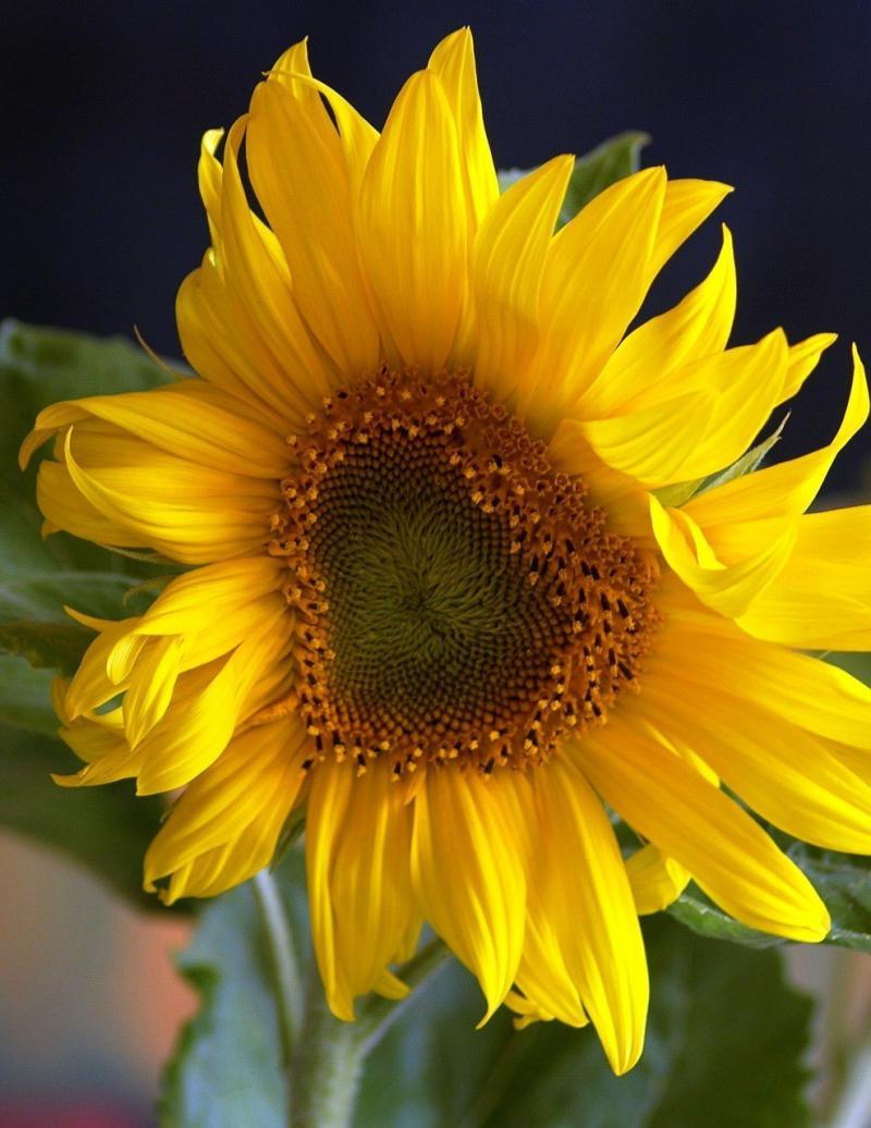 صور تحتوي #الصيف #الأصفر #دوار_الشمس #نبات