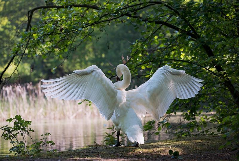 صور تحتوي #طبيعة #جناح #بجعة #الذكور #طائر_الماء #أبيض