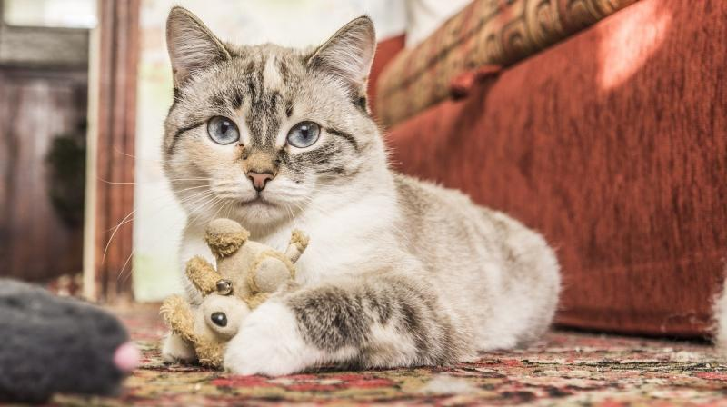 صور تحتوي #حيوان_اليف #جذاب #قط #قطه_صغيرة #الحيوانات #الثدييات