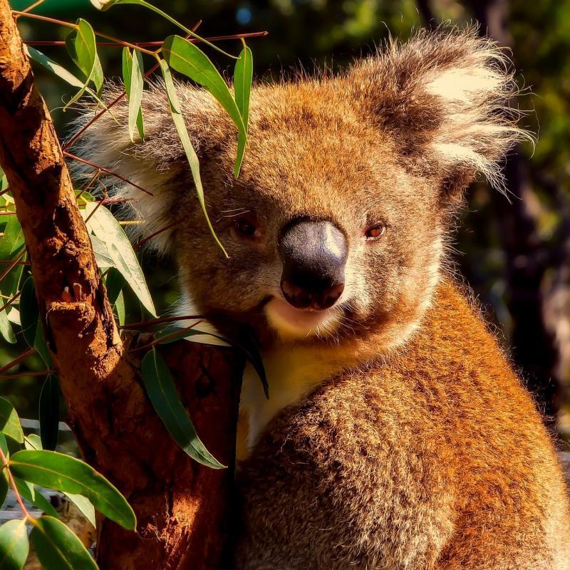 صور تحتوي #طبيعة #الحيوانات_البرية #الكوال_دب_أسترالي #جذاب #صورة قريبة #دقيق #حيوان