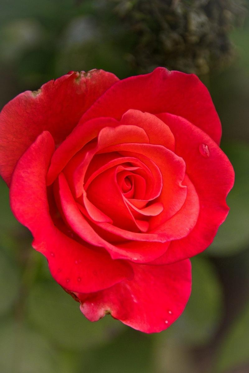 صور تحتوي #الوردة #أحمر #بطاقة_تحية #رومانسي