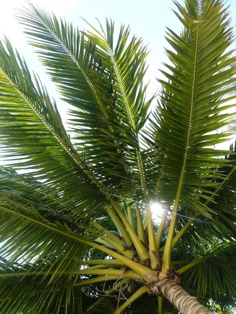 صور لـ #استوائي #شجرة_جوز_الهند #كف__نخلة