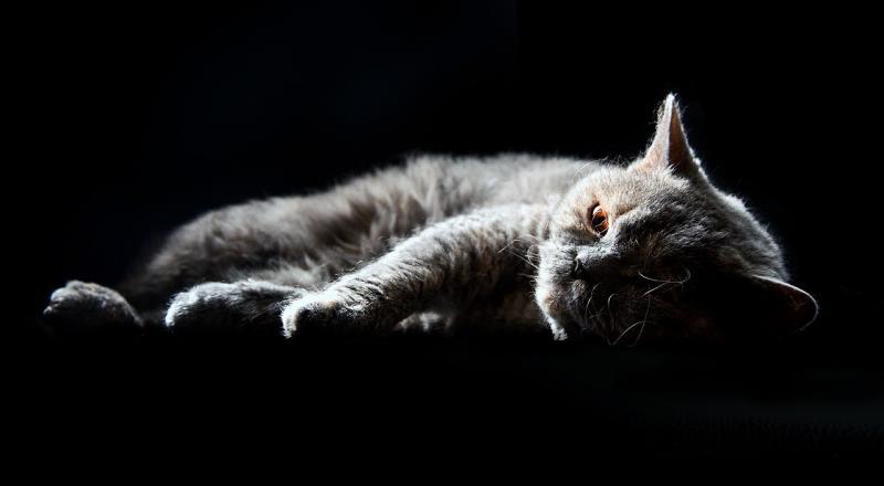 صور تحتوي #سيلكيرك_ريكس #القط_المنزلي #بريطاني_قصير_الشعر #قط