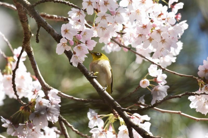 صور تحتوي #زهور #نبات #أزهار_الكرز #حيوان #خشب #طائر