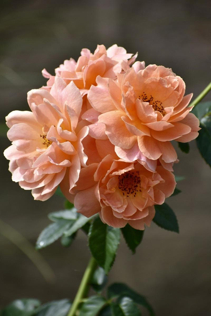 صور لـ #طبيعة #الوردة #زهري #زهرة #خوخ #حديقة #زهر