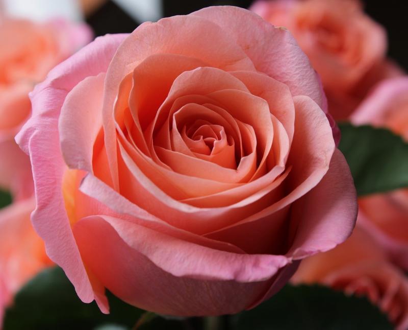 صور تحتوي #زهرة #الوردة #شعور #خلفية #وردة_زهرية #شغف