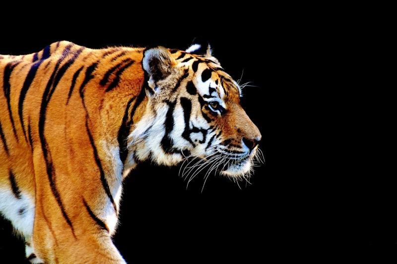 صور تحتوي #نمر #فرو #المفترس #قطة_كبيرة #خطير #جميلة