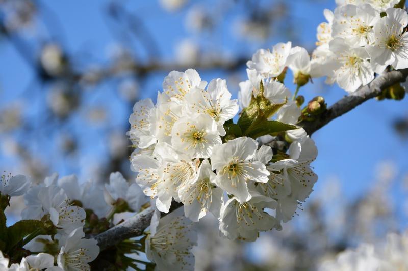 صور لـ #ازهار_الربيع #كرز #غصن #ربيع #زهرة #طبيعة