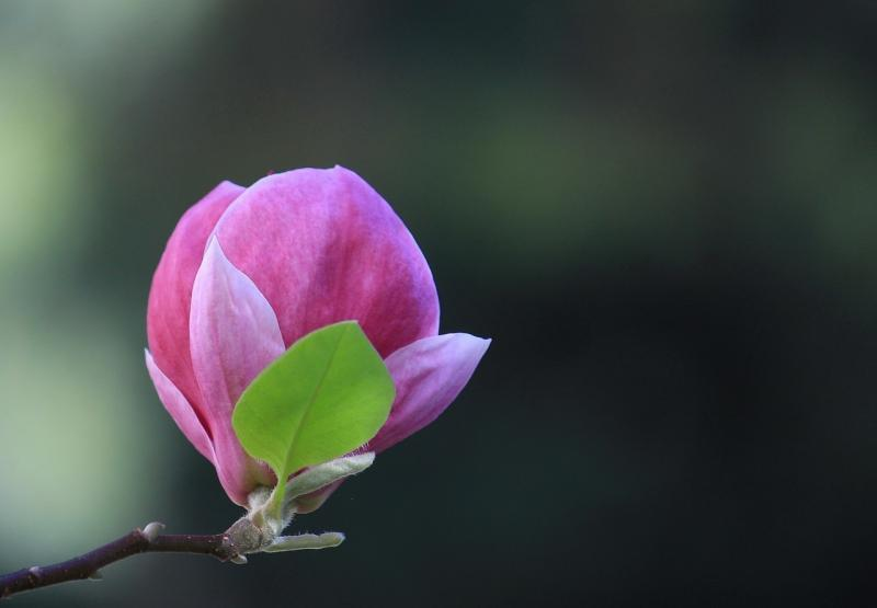 صور لـ #نبات #الألوان #زهري #أخضر #ربيع #زهر #شجرة_المغنولية