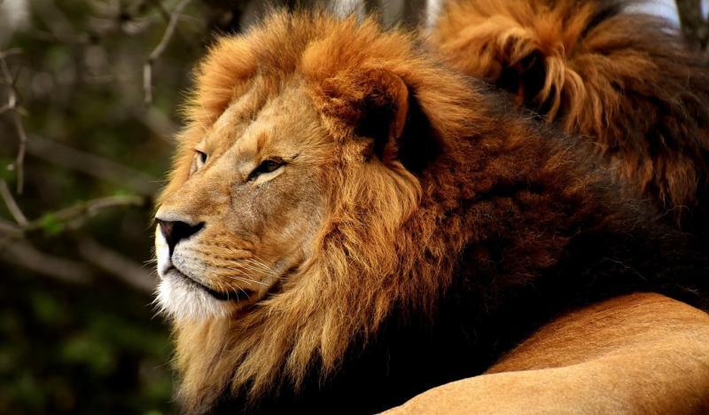 صور تحتوي #حديقة_حيوان #قطة_كبيرة #الذكر #أسد #خطير #Mane #المفترس