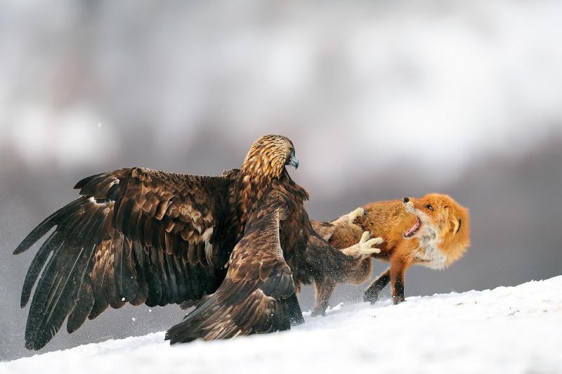 صور #نسور #نسر #Eagles #حيوانات #Animals #طيور #Birds عالية الوضوح - 252
