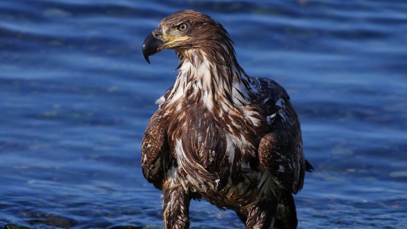 صور #نسور #نسر #Eagles #حيوانات #Animals #طيور #Birds عالية الوضوح - 115